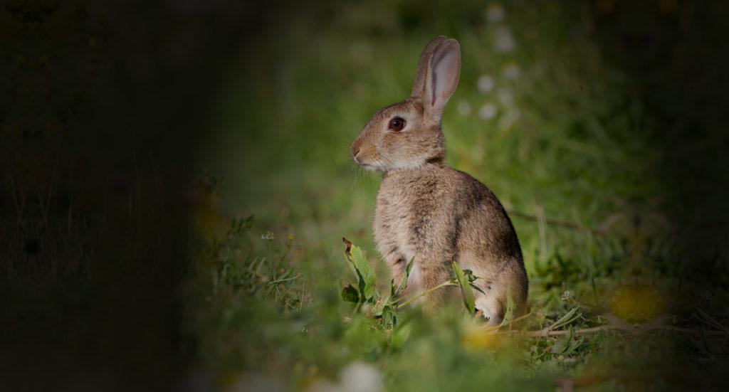 wild_irish_game_home_rabbit